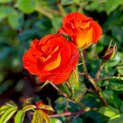 Afrikaans (Potted Rose)