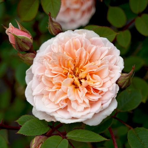 Anita's Rose - Climbing