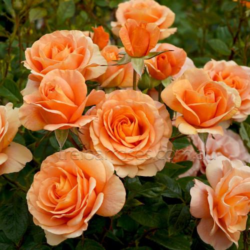 Bengali (Potted Rose)