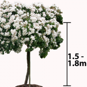 1.5 to 1.8m Stem - Tall Weeping Standard