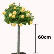 60cm Stem - Patio & Miniature Standard Roses