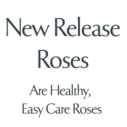 Latest Release Roses