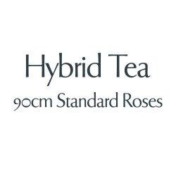 Hybrid Tea - 90cm Standard Roses