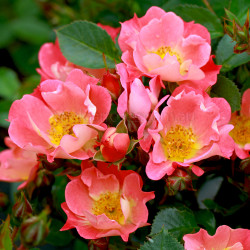 Coco (Potted Rose)