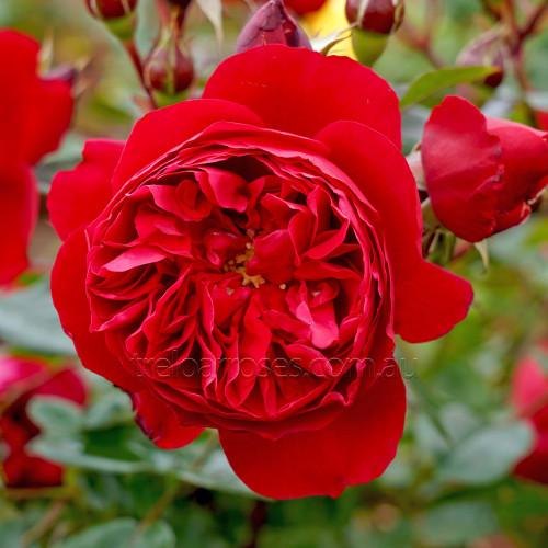 Florentina - Climbing (Potted Rose)