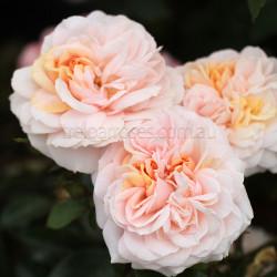 Garden Of Roses - 60cm Patio Standard