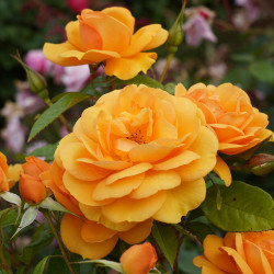 Golden Beauty (Potted Roses)