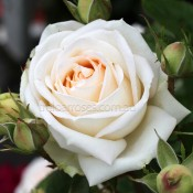 2018 New Release Roses