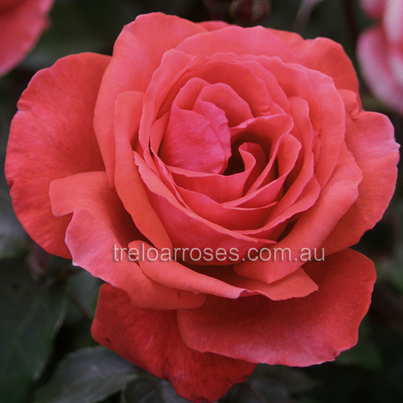 fragrant cloud  shop treloar roses  premium roses for australian, Natural flower