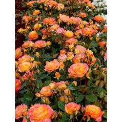 Garden Delight - 90cm Standard