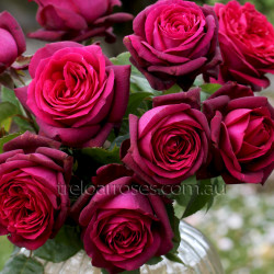 2016 New Release Roses