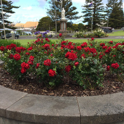 Gallipoli Centenary Rose