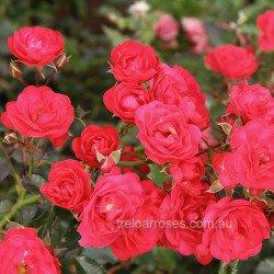 Gardener's Pleasure (Potted Rose)