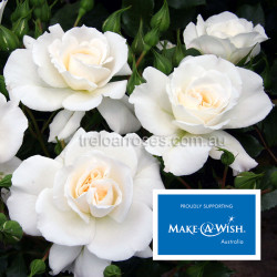 Make A Wish Australia - 90cm Standard