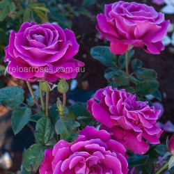Mornington Rose
