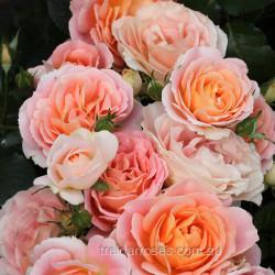 Peach Profusion - 90 cm Standard