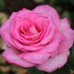 Perfume Passion - 90cm Standard (Potted Rose)