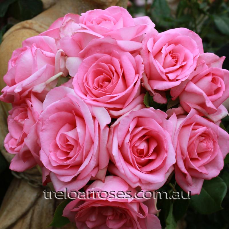 1 fragrant roses - Fragrant Roses
