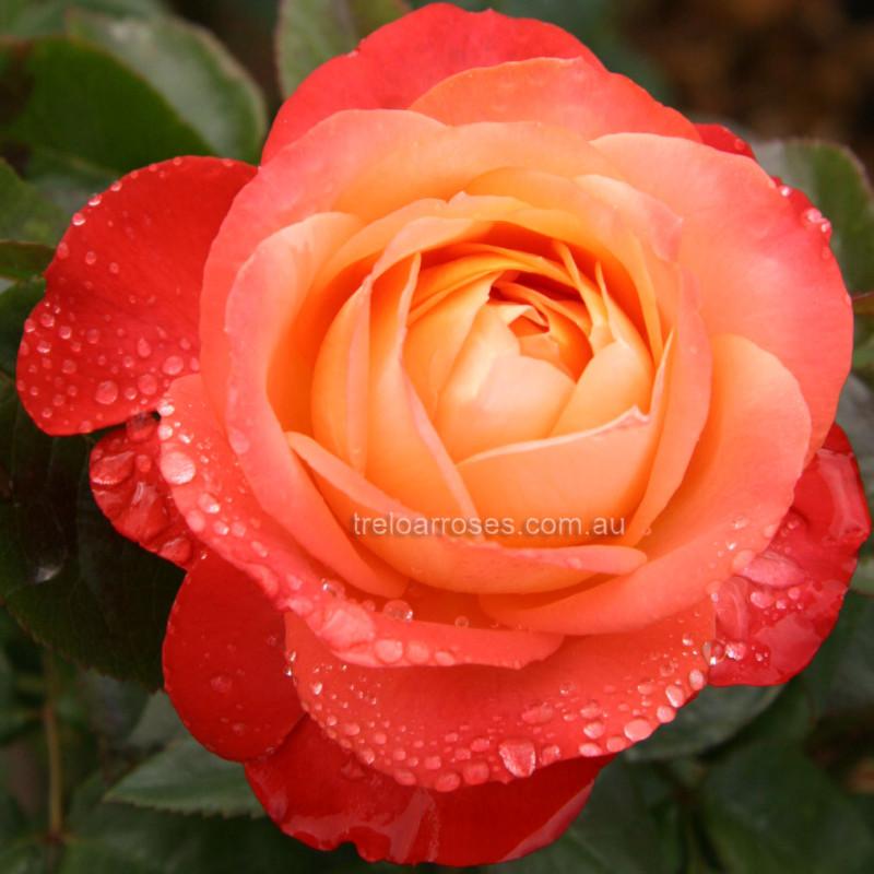 Queen Of Hearts Hybrid Tea Rose