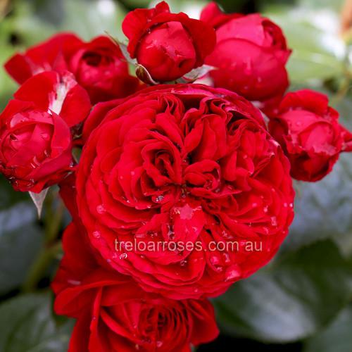 Red Riding Hood - 90cm Standard