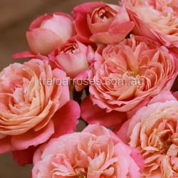 Renmark's Rose