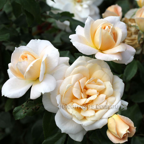 Lion's Rose (Potted Rose)