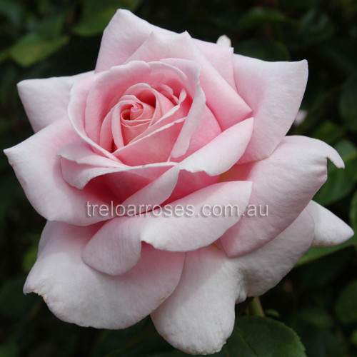 The Children's Rose
