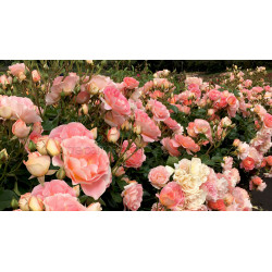 Peach Profusion - 60cm Patio Standard