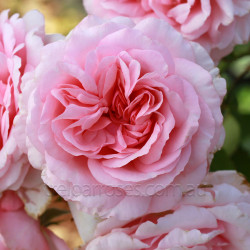 Radox Bouquet