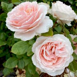 Shirley's Rose