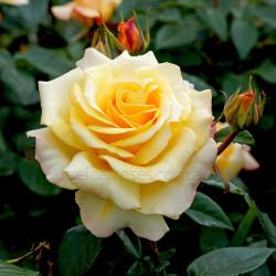 Sunny Sky  (Potted Rose)