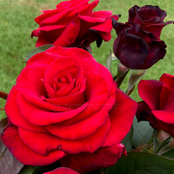 The Mandalay Rose