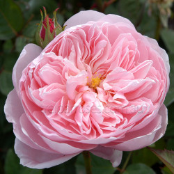The Alnwick Rose - 90cm Standard
