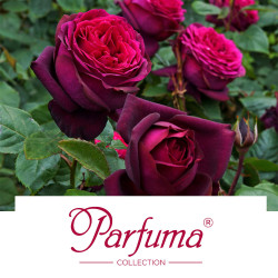 Parfuma® Collection
