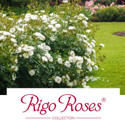 Rigo Roses® Collection