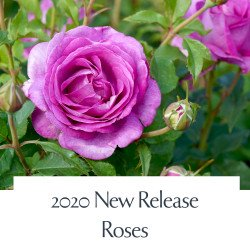 2020 New Releases Roses