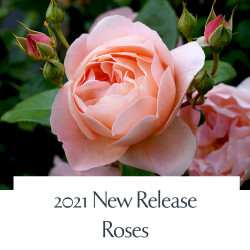2021 New Release Roses