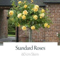60cm Stem - Patio & Miniature Standard Roses