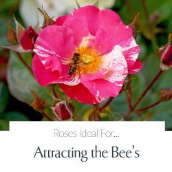 Attracting The Bee's