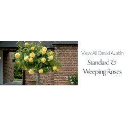 View All David Austin - Bush Roses