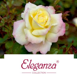Eleganza® Collection