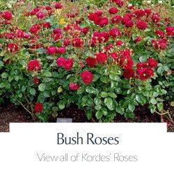 View All Kordes Roses - Bush Roses