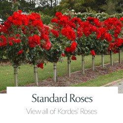 View All Kordes Roses - Standard & Weeping Roses