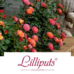 Lilliputs® Collection