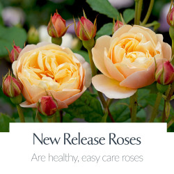New Release Roses