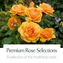 Premium Rose Selections
