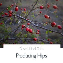 Producing Hips
