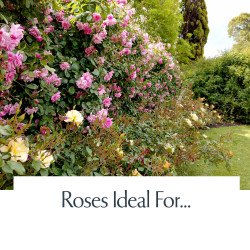 Roses Ideal For...