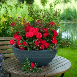 Miniature & Miniflora Roses