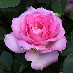 Hybrid Tea Bush Roses